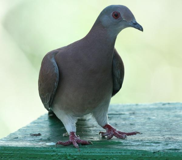 Pale Vented Pigeon
