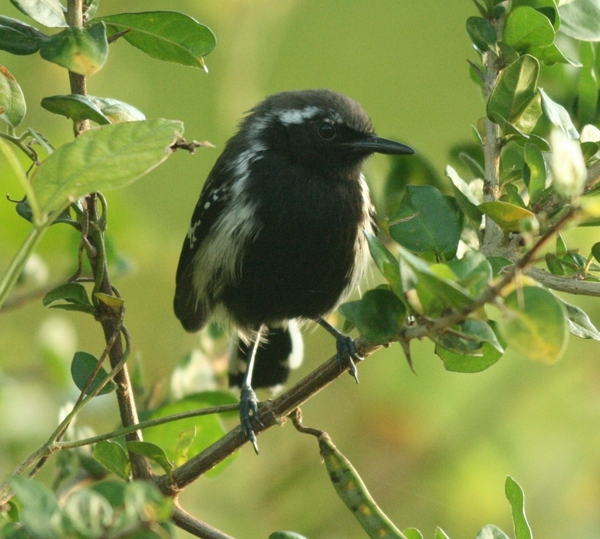 White-fringed Antwren