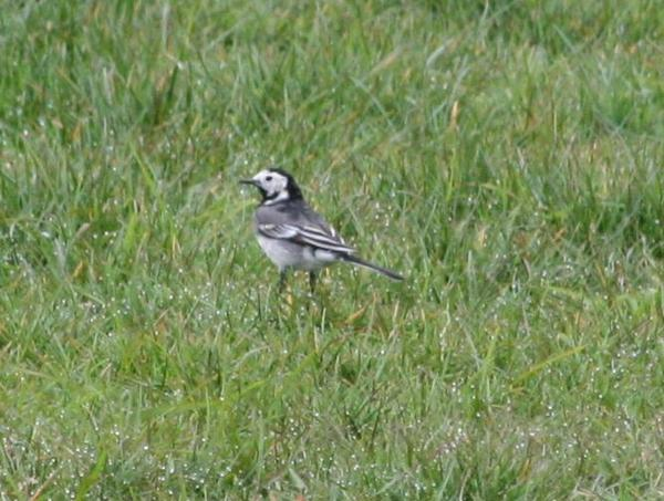 British Pied Wagtail