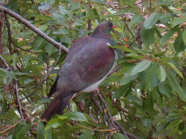Kereru NZ Wood pigeon