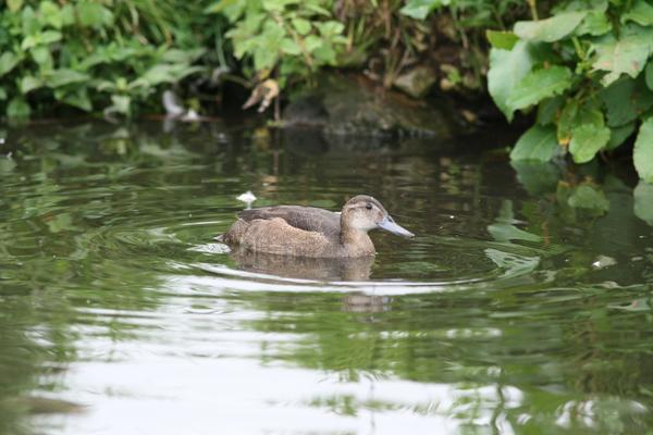 Black-headed Duck