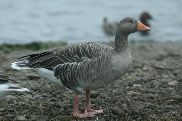 goose the bird