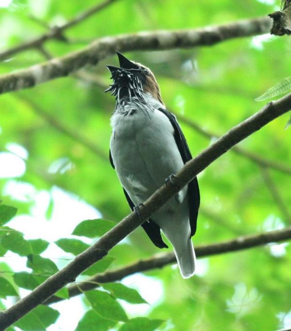 Bearded Bellbird